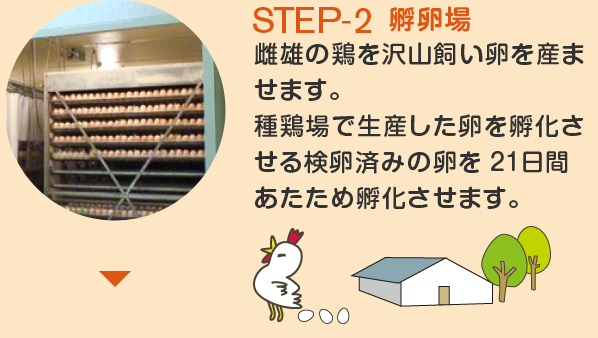 STEP-2 孵卵場 雌雄の鶏を沢山飼い卵を産ませます。 種鶏場で生産した卵を孵化させる検卵済みの卵を 21日間あたため孵化させます。